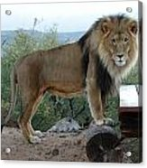 Out Of Africa  Lion 1 Acrylic Print