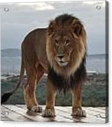 Out Of Africa Lion 3 Acrylic Print