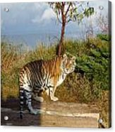 Out Of Africa  Tiger 1 Acrylic Print