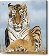 Out Of Africa Tiger 3 Acrylic Print