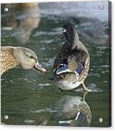 Out Of My Roosting Ice Spot Shorty Acrylic Print