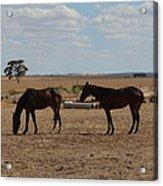 Outback Horses Acrylic Print