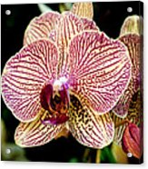 Outstanding Orchid Acrylic Print
