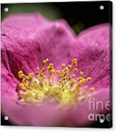 Over The Pink To The Gold Acrylic Print