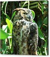 Owl Portrait 2 Acrylic Print