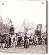 Ox-driven Wagon Freight Train C. 1887 Acrylic Print
