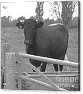 Oxlease Bull Acrylic Print