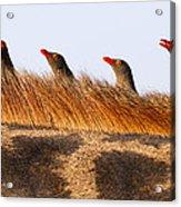 Oxpeckers Acrylic Print
