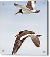 Oyster-catcher Pair Acrylic Print