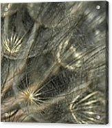 Oyster Flower Seed Head Acrylic Print