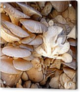 Oyster Mushrooms Acrylic Print