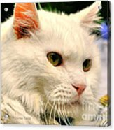 P C - Perfect Cat Acrylic Print