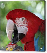 P Is For Parrot Acrylic Print