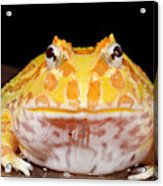 Pac Man Frog Ceratophrys On A Rock Acrylic Print
