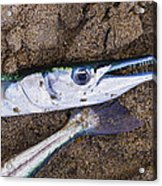 Pacific Needlefish Acrylic Print by Aged Pixel
