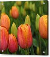 Pacific Northwest Tulips 3 Acrylic Print