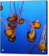 Pacific Sea Nettles Acrylic Print