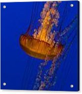Pacific Sea Nettles In A Row Acrylic Print
