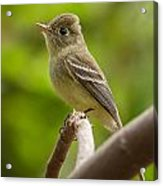 Pacific-slope Flycatcher Acrylic Print