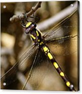 Pacific Spiketail Dragonfly On Mt Tamalpais 2 Acrylic Print