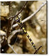 Pacific Spiketail Dragonfly On Mt Tamalpais Acrylic Print