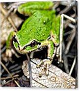 Pacific Tree Frog 2a Acrylic Print