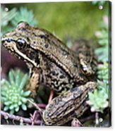 Pacific Tree Frog Among Succulent Plant Acrylic Print by David Gn