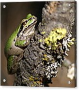Pacific Treefrog Acrylic Print