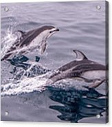 Pacific White Sided Dolphins Acrylic Print
