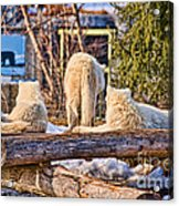 Pack Of Arctic Wolves Watching A Polar Bear Movie Acrylic Print