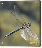 Paddletail Darner In Flight Acrylic Print