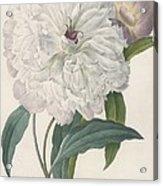 Paeonia Flagrans Peony Acrylic Print