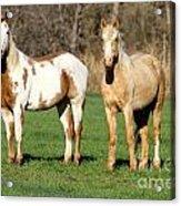 Paint And Palomino Mustang Acrylic Print