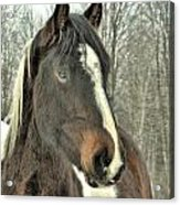Paint Horse In Winter Acrylic Print