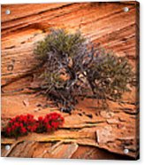 Paintbrush And Juniper Acrylic Print by Inge Johnsson