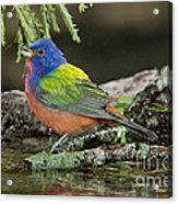 Painted Bunting Drinking Acrylic Print