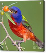 Painted Bunting Eating Granjeno Berry Acrylic Print