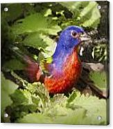 Painted Bunting Acrylic Print