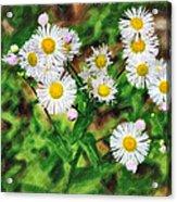 Painted Fleabane Acrylic Print