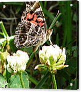 Painted Lady Butterfly  Acrylic Print by Ella Char