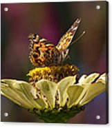 Painted Lady Acrylic Print