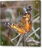 Painted Lady Square Acrylic Print