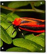 Painted Lichen Moth Acrylic Print