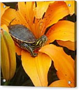 Painted Lilly Acrylic Print