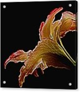 Painted Lily Acrylic Print