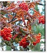 Painted Mountain Ash Berries Acrylic Print