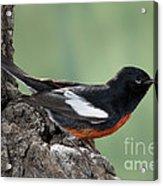 Painted Redstart Myioborus Pictus Acrylic Print