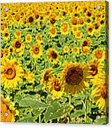 Painted Sunflower Field Acrylic Print