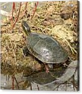 Painted Turtle Reflected In Water Acrylic Print