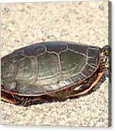 Painted Turtle Acrylic Print